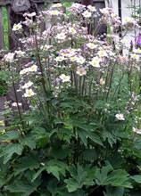 Анемона японская, ветреница (Anemone japonica)