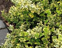 """Бересклет Форчуна """"Emerald Gold"""" (Euonymus japonica)"""