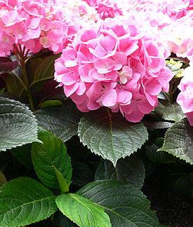 Гортензия розовая (Hydrangea)