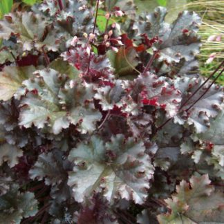 Гейхера гибридная Dark Secret (Heuchera hybrida Dark Secret)