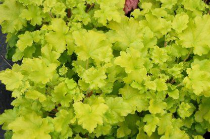 Гейхера Lime Marmalade (Heuchera Lime Marmalade)
