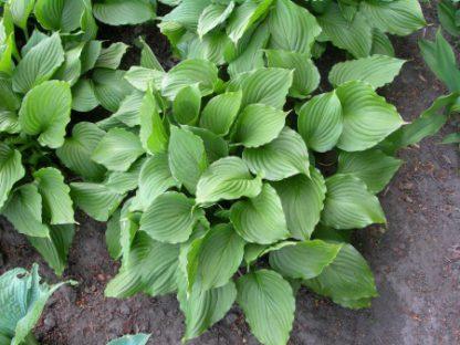 Хоста вздутая ( Hosta ventricosa)