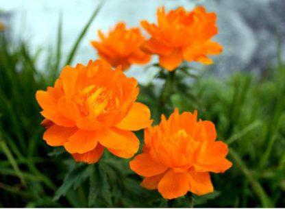 Купальница оранжевая (Trollius)