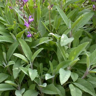 Шалфей (Salvia officinalis)