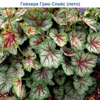 Гейхера Грин спайс (Heuchera Green spice)