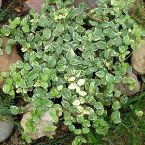Барвинок малый Альбомаргината (Vinca minor f. albo-marginata)