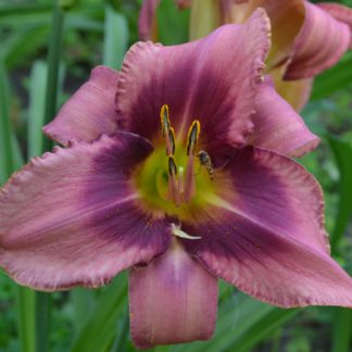Лилейник Purple Bee Color