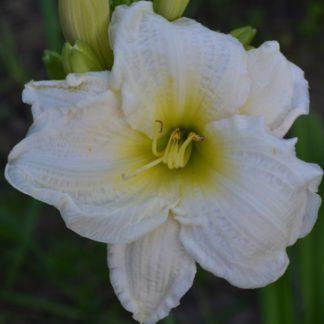 Лилейник White Perfection
