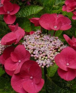 Гортензия крупнолистная Gimpel (Hydrangea macrophylla Gimpel)