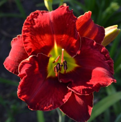 Лилейник Red Grace
