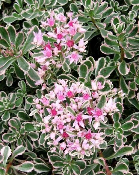 Очиток ложный Триколор (Sedum spurium Tricolor)