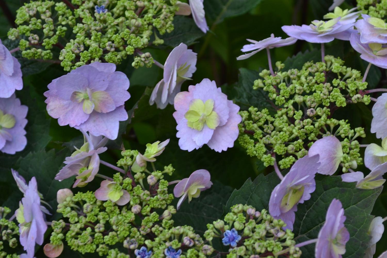 Гортензия-крупнолистная-Blueberry-Cheesecake