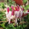 Жимолость вьющаяся Серотина (Lonicera periclimenum »Serotina )