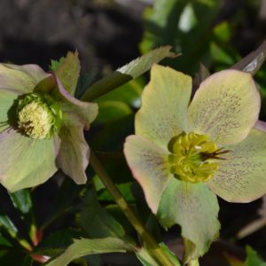 Морозник Yellow Lady (желто-зеленый)