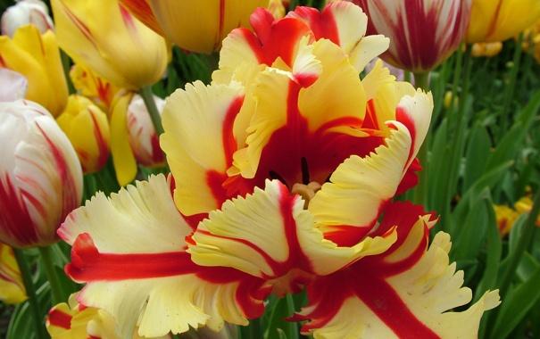 Пестрые тюльпаны - вирус или сорт?