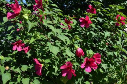 Гибискус травянистый красный