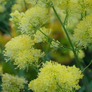 Василистник желтый (Thalictrum flavum)