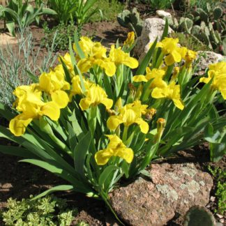 Ирис карликовый Yellow
