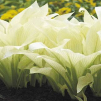 Хоста White Feather