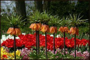 фото цветок рябчик