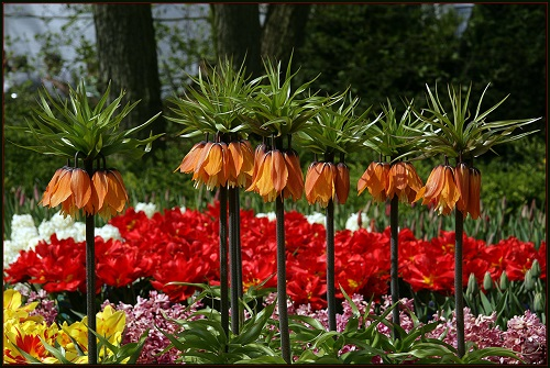 Рябчики цветы купить