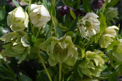 Морозник orientalis Double White - White spotted