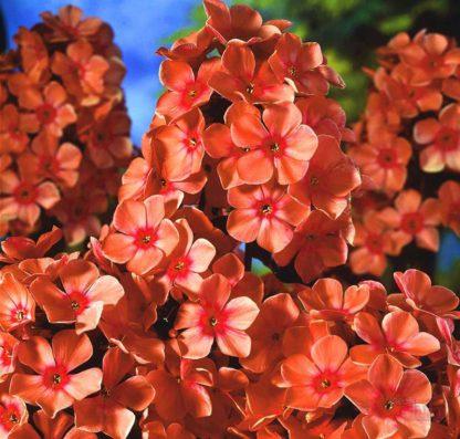Флокс метельчатый Orange Perfection