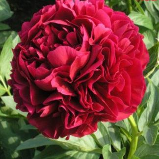 Пион Red Supreme (Ред Суприм)