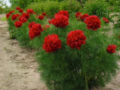 Пион Tenuifolia Rubra Plena double