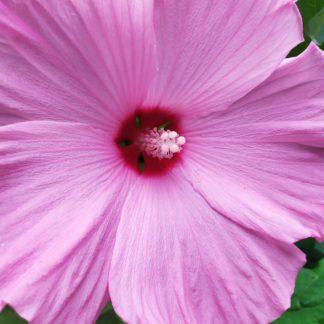 Гибискус травянистый розовый